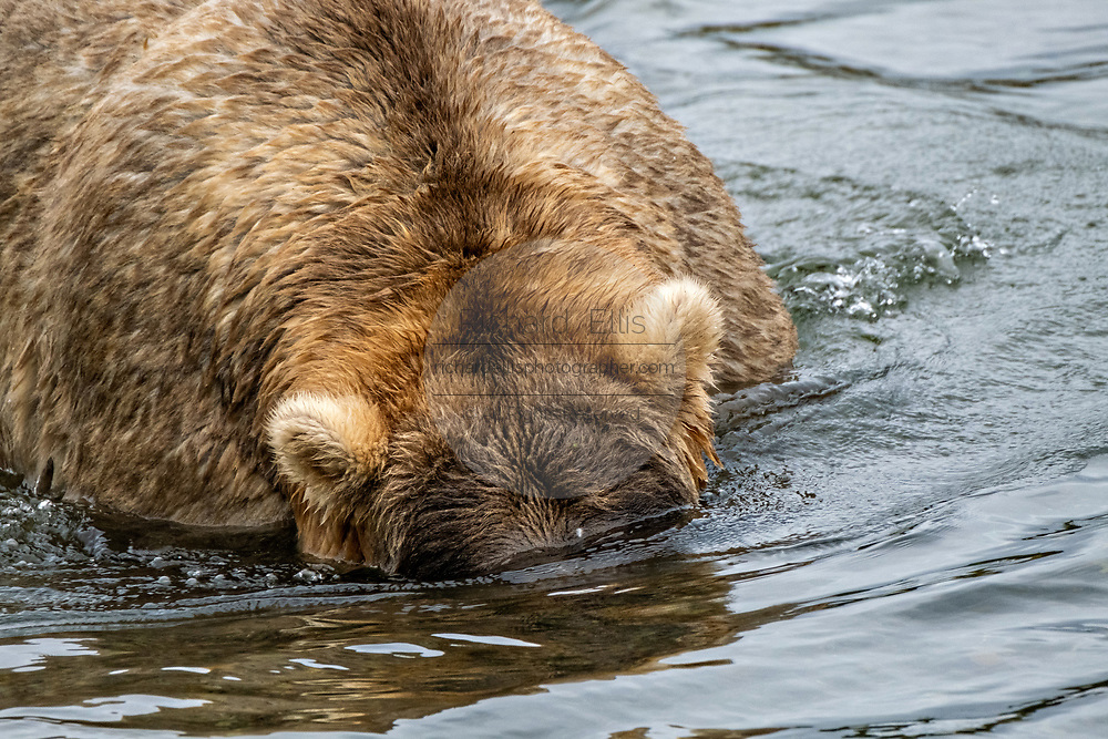 A female adult Brown Bear known as 435 Holly, searches for Sockeye Salmon in the lower Brooks River at in Katmai National Park and Preserve September 15, 2019 near King Salmon, Alaska. The park spans the worlds largest salmon run with nearly 62 million salmon migrating through the streams which feeds some of the largest bears in the world.