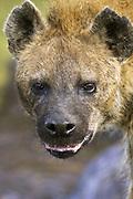 Spotted Hyena<br /> Crocuta crocuta<br /> Maasai Mara Reserve, Kenya
