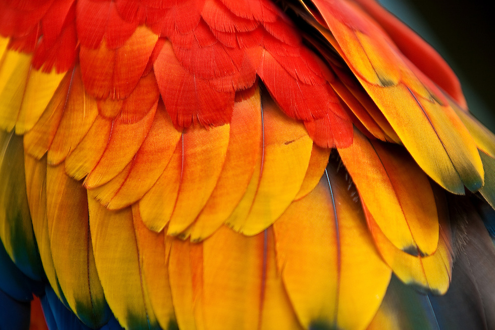 Close-up of scarlet macaw (Ara macao) feathers on a captive bird at the St. Augustine Alligator Farm, Anastasia Island, St. Augustine, Florida