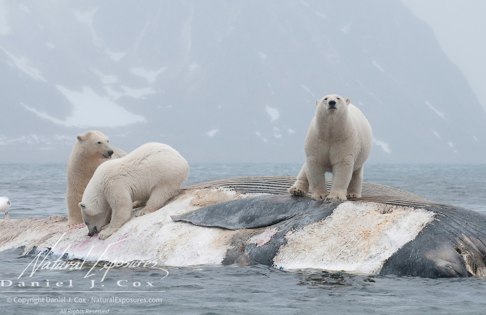 Polar bears feeding on the carcass of a Fin Whale. Svalbard, Norway