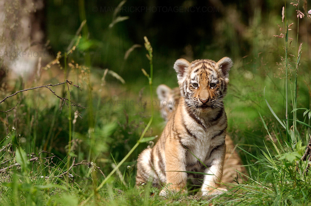 Three rare tiger cubs have been named after a two-month wait to determine their sex.. .Bosses at the Highland Wildlife Park discovered yesterday (SUN) that Amur tiger Sasha had given birth to one boy and two girls...Visitors have been flocking to see Vladimir, Natalia and Dominika at their home in Kingussie, near Aviemore, since they were revealed to the public last month...Picture shows two of the rare Amur tiger cubs at the Highland Wildlife Park..