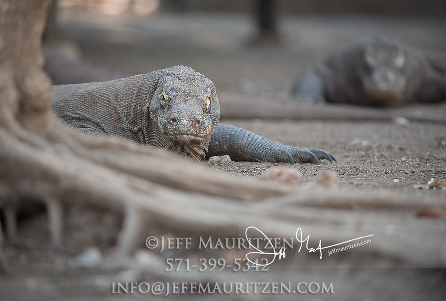 Komodo dragons rest during the day on Rinca Island, part of the Komodo National Park in Indonesia.