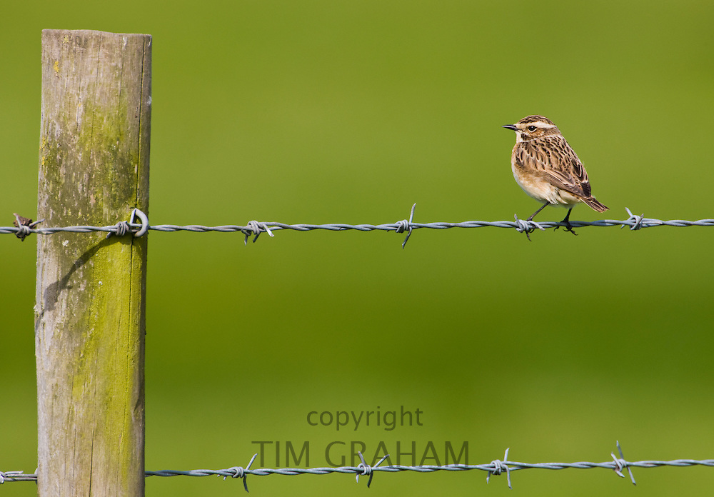 Whinchat bird on barbed wire in Gloucestershire