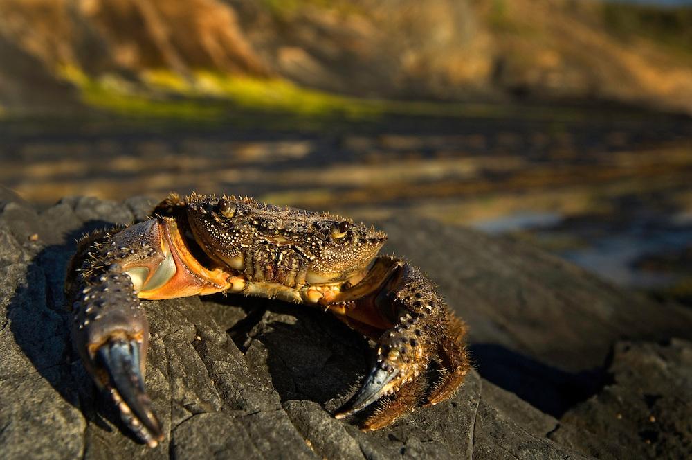 Warty crab, Crab - Eriphia verrucosa, Southwest Alentejo and Vicentine Coast Natural Park, Portugal
