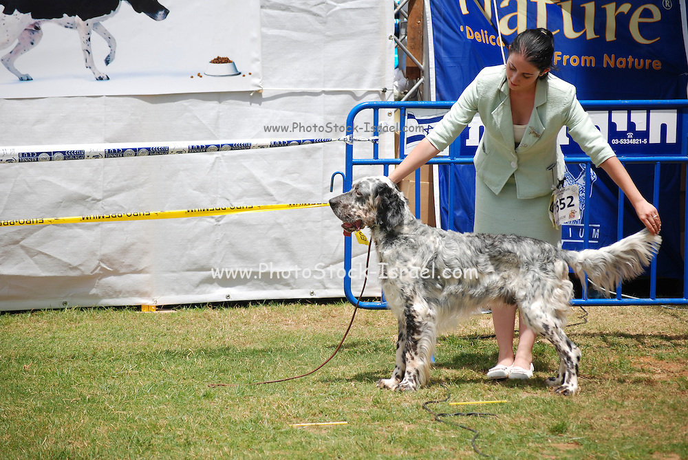 Israel, Tel Aviv, The International Dog Show 2010 English setter