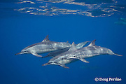 Hawaiian spinner dolphins or Gray's spinner dolphin,<br /> Stenella longirostris longirostris, Kona, Hawaii ( Big Island ), Hawaiian Islands, USA ( Central Pacific Ocean )