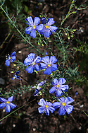 Blue Flax, wildflowers of Grand Teton National Park