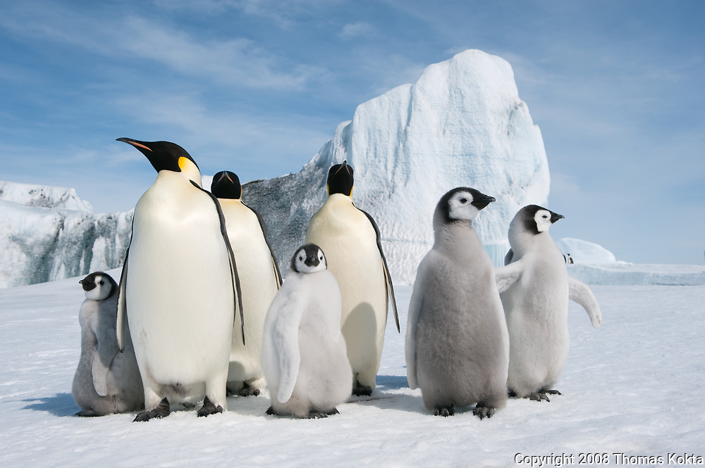 Group of Emperor penguins and chicks standing together.