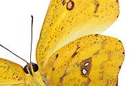 Phoebis Crispi, from the family of Whites, Pieridae. Country of origin is Peru. His wingspan is approx 6-7 cm. It is characterized by a bright yellow color. Studio Shot, Goosefeld. / Phoebis crispis, aus der Familie der Weisslinge, Pieridae. Herkunftsland ist Peru. Seine Fluegelspanne betraegt ca. 6-7 cm. Er zeichnet sich durch eine leuchtend gelbe Farbe aus. Studioaufnahme, Goosefeld.