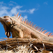 Orange Iguana over a palapa. Cozumel, Quintana Roo. Mexico.