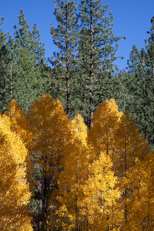 """Aspen in Tahoe 5"" - These yellow aspens trees and pine trees were photographed off Highway 267 near Northstar Ski Resort in the fall."
