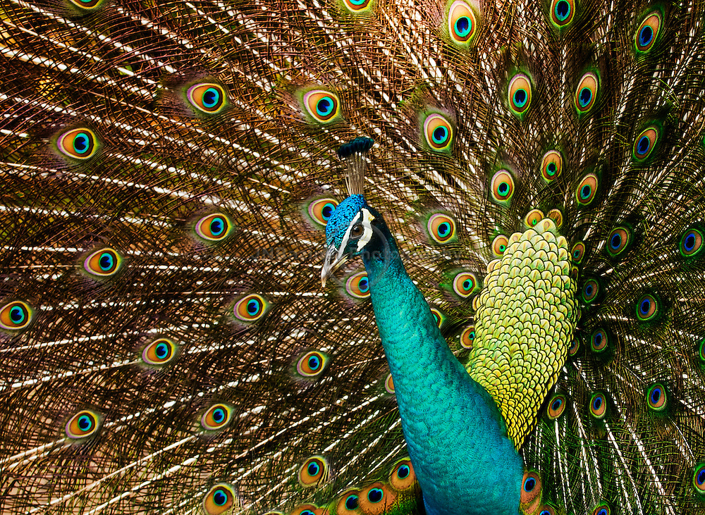 Attempting to get a female's attention, a male peacock boldly fans his tail
