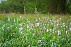 Common Bistort, Meadow bistort growing wild in Yorkshire. Persicaria bistorta.