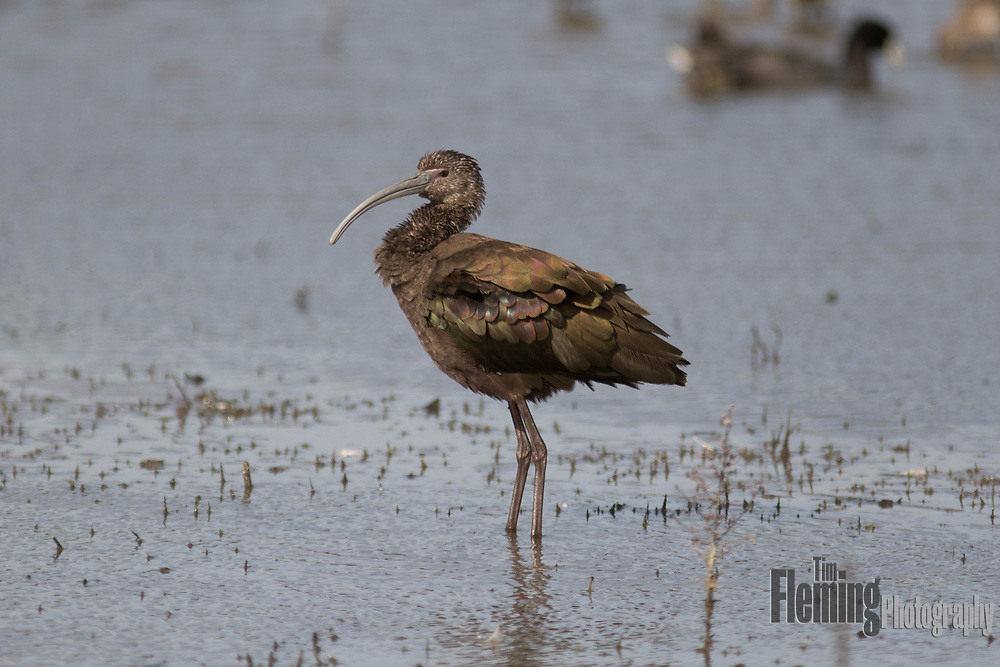 White-faced ibis, Ellis Creek Water Recycling Facility