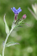 PURPLE GROMWELL Lithospermum purpureocaeruleum (Boraginaceae) Height to 20cm. Downy and unbranched perennial with creeping stems that root at the tip and upright flowering stems. Grows in woodland and scrub on calcareous soils. FLOWERS are 12-15mm across, funnel-shaped and pink at first, soon turning deep blue; borne in terminal clusters (Apr-Jun). FRUITS are shiny, white nutlets. LEAVES are narrow lanceolate, dark green and pointed. STATUS-Local and scarce in S England and Wales only.