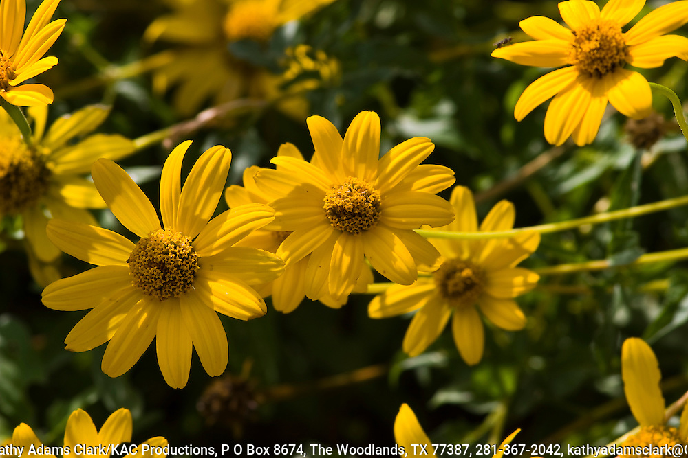 Mountain oxeye, Heliopsis parvifolia, summer blooms, Big Bend National Park, Texas.  Chihuahuan Desert.