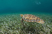 Green Sea Turtle (Chelonia mydas)<br /> Shark Ray Alley<br /> Hol Chan Marine Reserve<br /> near Ambergris Caye and Caye Caulker<br /> Belize<br /> Central America