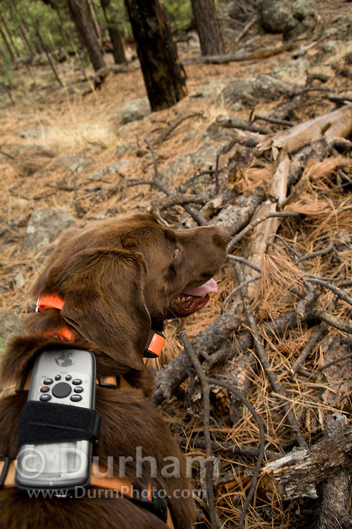 CJ, a chocolate lab working as a trained wildlife detector dog, tries to find bat roosting sites while outfitted with a gps unit that will record his movements and location. Coconino National Forest, Arizona.