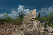 Green Iguana (Iguana iguana)<br /> Slagbaai National Park<br /> BONAIRE, Netherlands Antilles, Caribbean<br /> HABITAT & DISTRIBUTION: Varied habitat from Mexico south to Southern Brazil and Paraguay & Caribbean Islands.