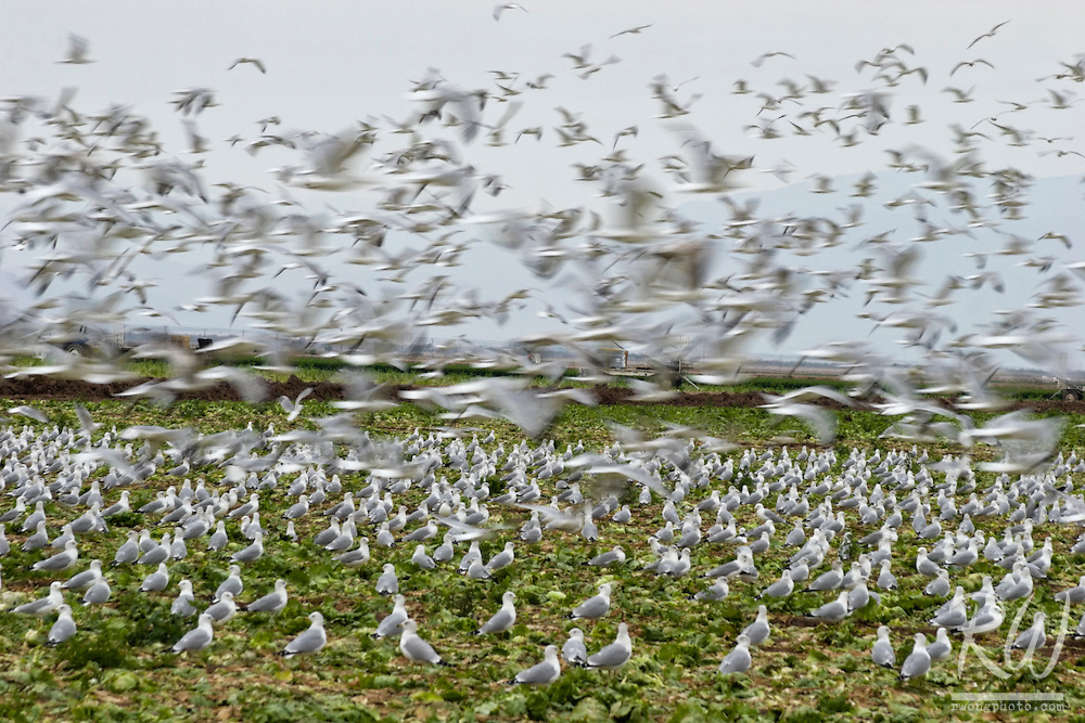 Western Gulls in Agricultural Field, Imperial Valley, California