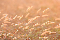 Picture of backlit grass in a field.
