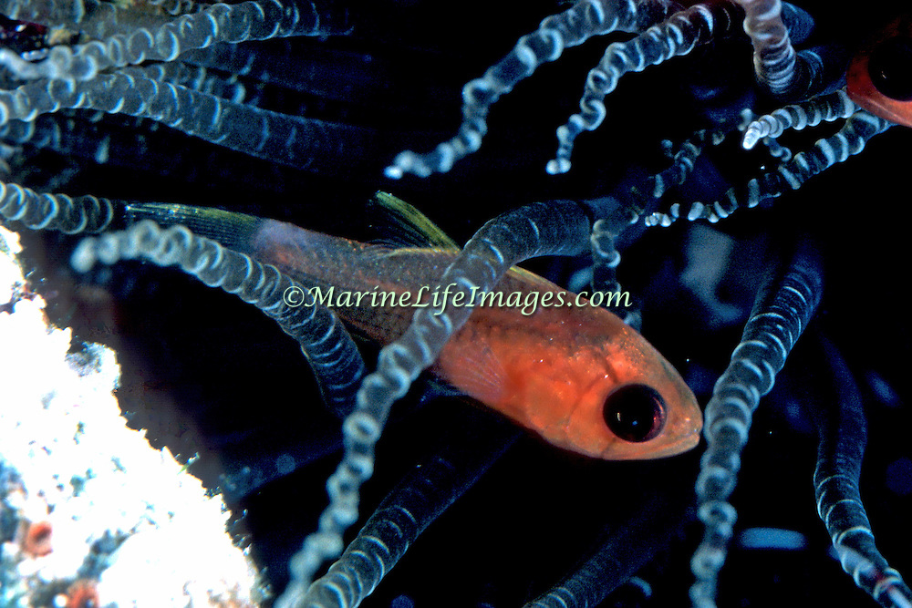 Bridle Cardinalfish inhabit reefs living within the protective zone of an anemone's tentacles in Tropical West Atlantic; picture taken Grand Cayman.