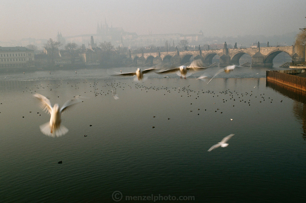 Birds over the Vlatava River in front of the Charles Bridge. Prague, Czech Republic.