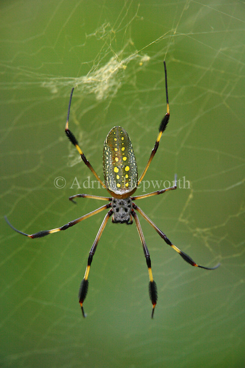 Golden Orb Spider (Nephila clavipes) in web. Corcovado National Park, Osa Peninsula, Costa Rica. <br />