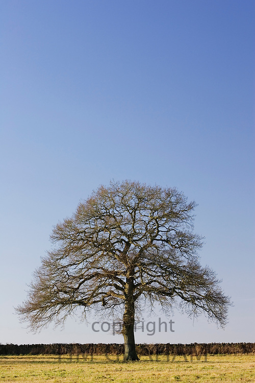 Oak tree, The Cotswolds, Oxfordshire, United Kingdom RESERVED USE - NOT FOR DOWNLOAD -  FOR USE CONTACT TIM GRAHAM