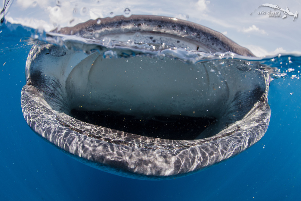 Split image of a whale shark (Rhincodon typus) feeding in a bonito spawning event off of Isla Mujeres, Mexico