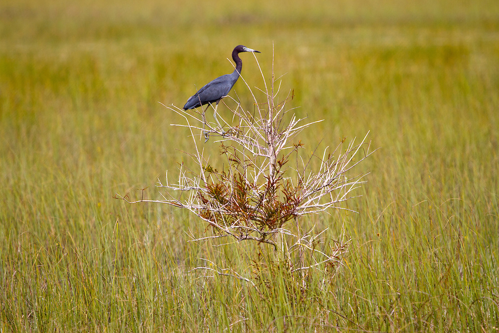 Little Blue Heron, Everglades National Park.<br />