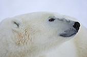 Polar Bears