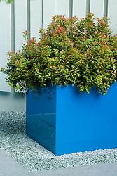 Evergreen shrub in blue planter on gravel. Design: Joe McHugh - Chelsea 2005