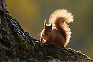 Red Squirrel (Sciurus vulgaris) backlit in scots pine forest in the Cairngorms National Park, Scotland