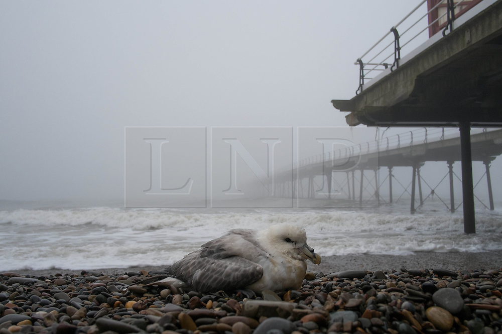 © Licensed to London News Pictures. 04/04/2014<br /> <br /> Saltburn by the Sea, United Kingdom<br /> <br /> A seabird rests on the pebbles as heavy fog shrouds the Victorian pier in Saltburn by the Sea in Cleveland.<br /> <br /> Photo credit : Ian Forsyth/LNP