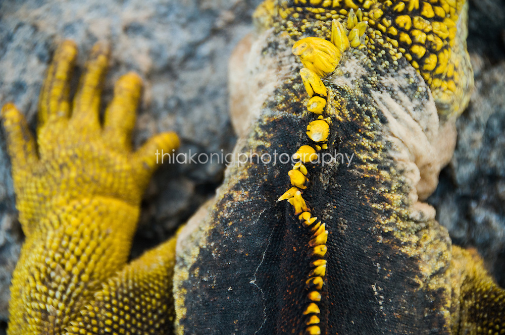 Close up of yellow spine of a marine iguana, Galapagos Islands