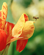 "A bee hovers near gold and red flower. NOTE: Click ""Shopping Cart"" icon for available sizes and prices. If a ""Purchase this image"" screen opens, click arrow on it. Doing so does not constitute making a purchase. To purchase, additional steps are required."