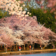The famous cherry blossoms at Washington DC's Tidal Basin burst into bloom for the spring of 2014. The bloom has been delayed due to a long and colder than average winter.