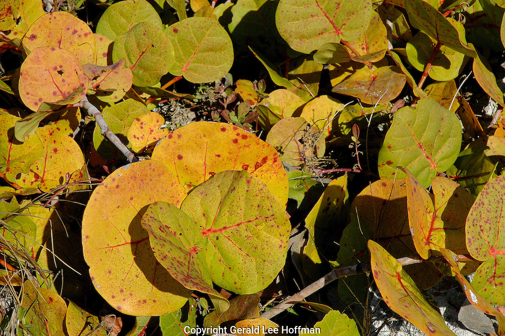 Sea Grape leaves winter time Sanibel Island, Florida.