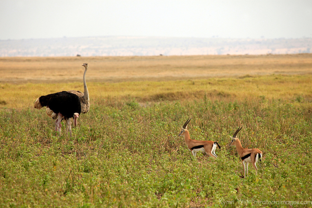 Africa, Kenya, Amboseli. An Ostrich towers over two Thomson's Gazelles.