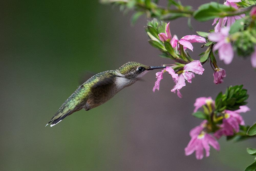 Ruby-throated Hummingbird, Bass Harbor, Maine
