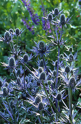 Eryngium x oliverianum - seedling form of  'Jos Eijking'. Sea holly