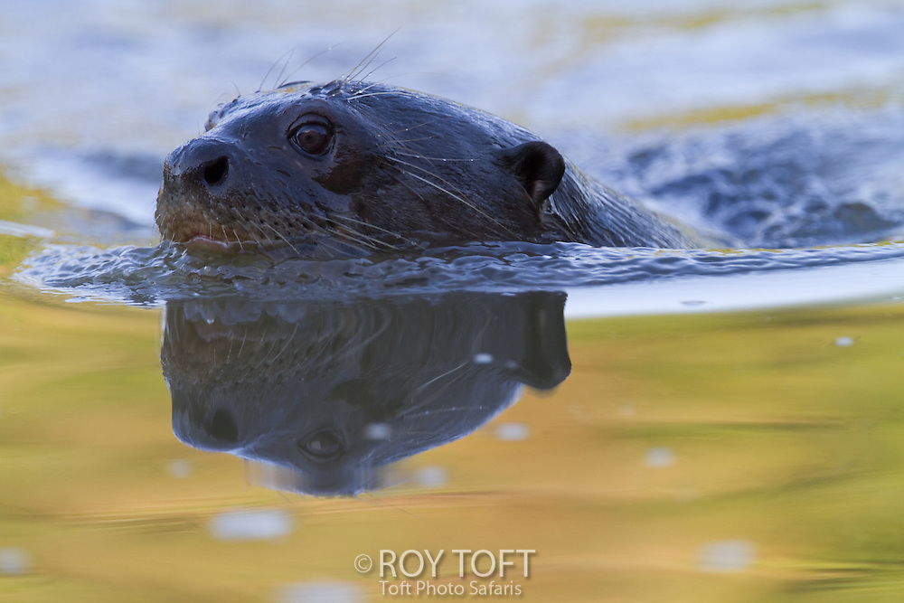 Giant otter (Pteronura brasiliensis) swimming, Pantanal, Brazil