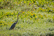 An oriental darter stands in green wetland scrub, Tamil Nadu, India.
