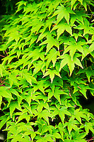Bright green leaves, plants, texture, background, Ireland. Stock images. Fine art photography prints