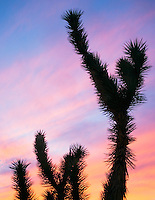 Yucca Tree at sunset Arizona USA&#xA;<br />