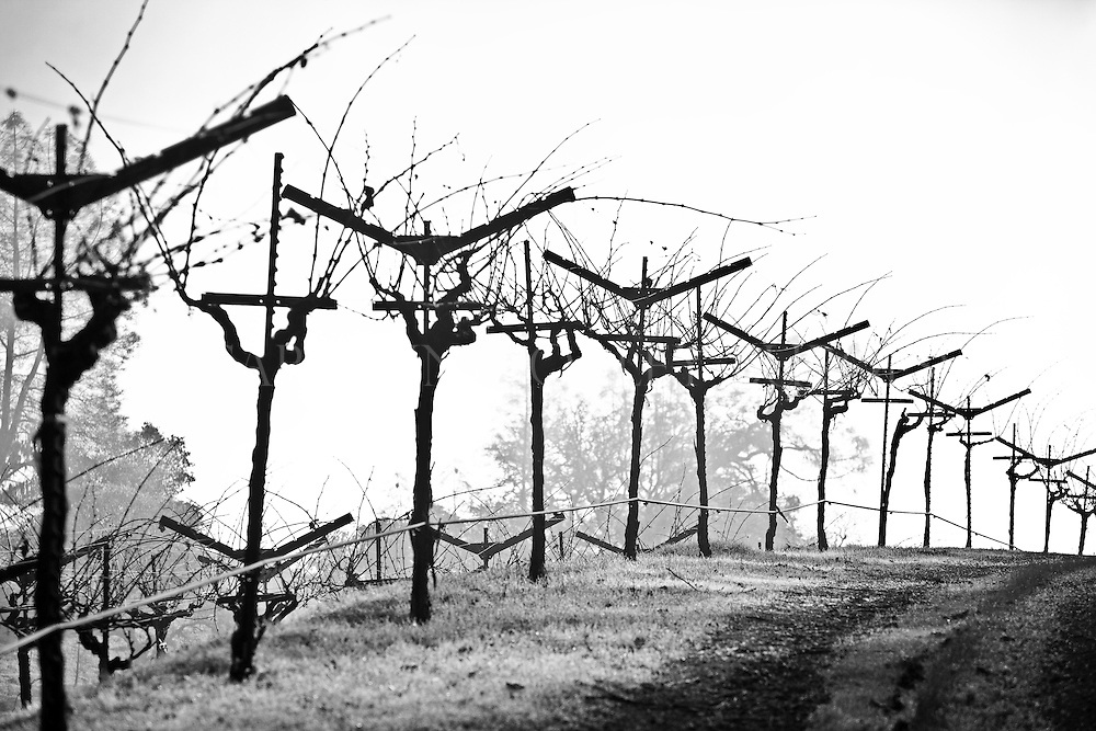 dormant winter vines in a Chiles Valley vineyard. Napa Valley, California