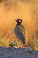 Male Northern Black Korhaan in early morning light, Kgalagadi Transfrontier Park, Northern Cape, South Africa