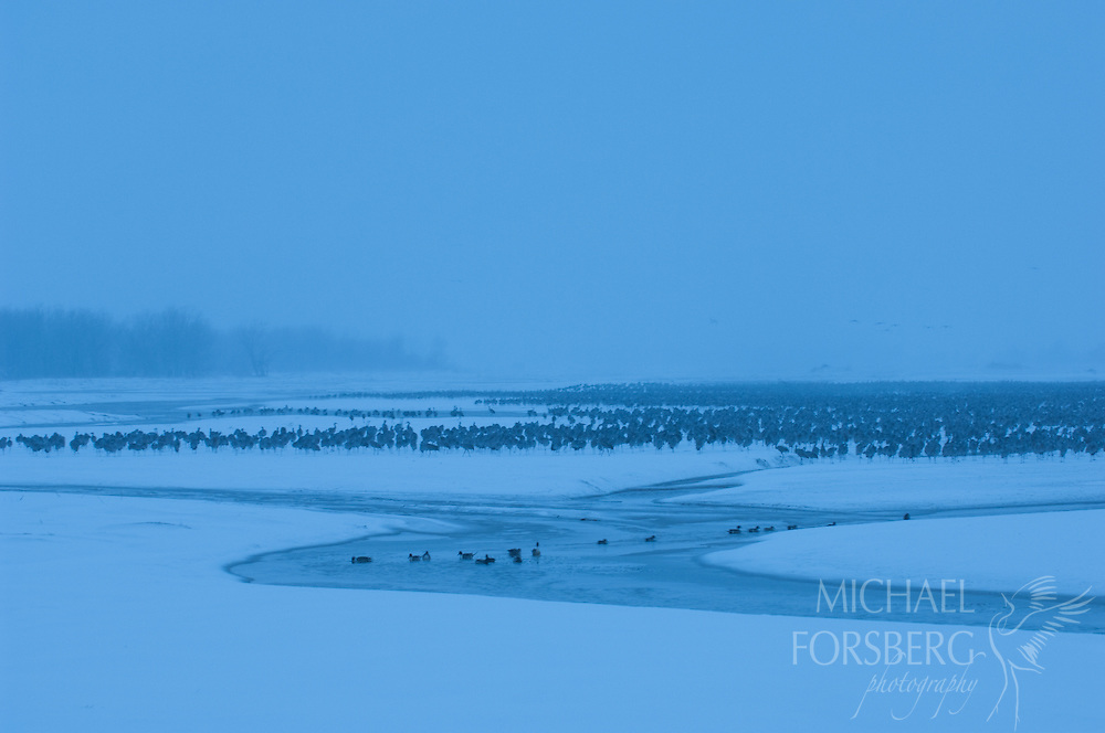 Platte River, Nebraska<br /> <br /> Migrating Sandhill cranes remain on the roost during morning hours as do ducks in foreground during spring blizzard on Platte. <br /> <br /> Blizzard dumped over two feet of snow in 36 hours.