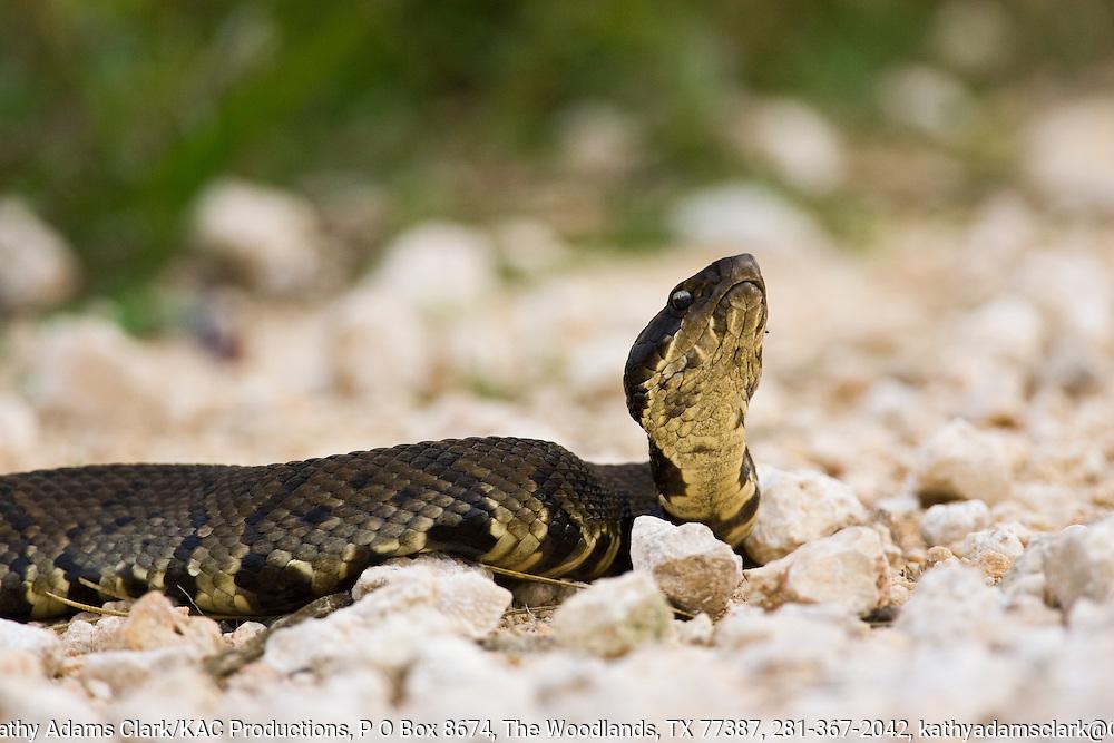 Eastern Cottonmouth, Agkistrodon piscivorus, on shell road, Anahuac National Wildlife Refuge, coastal, Texas.